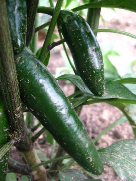 garden jalapeno